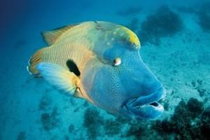 Estos peces de cabeza enorme son característicos de la Gran Barrera de Coral