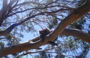 Ver Koalas en su habitat natural es memorable.