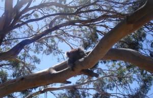 Ver Koalas en su habitat natural es memorable.