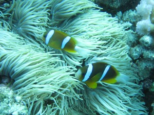 Nemos son comunes en la Great Barrier Reef