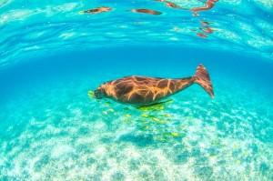 Podemos bucear con Dugongs en Western Australia.