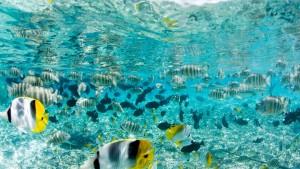 Numerosos y coloridos peces en el buceo en Bora Bora.
