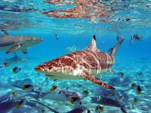 Tiburón de punta negra típico de la Polinesia Francesa.