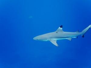 Foto de tiburón de punta negra es en aguas más profundas.