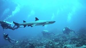 Los tiburones son frecuentes en Castle y Cristal Rock.