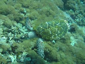 Ver tortugas es muy frecuente al bucear en Indonesia.