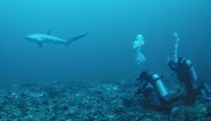 Encuentro con el tiburón zorro en Malapascua.