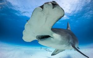 Tiburón martillo, habitual de Bahamas.