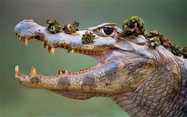 Cocodrilo del Amazonas.