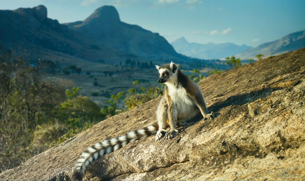 Lemur cata de Madagascar