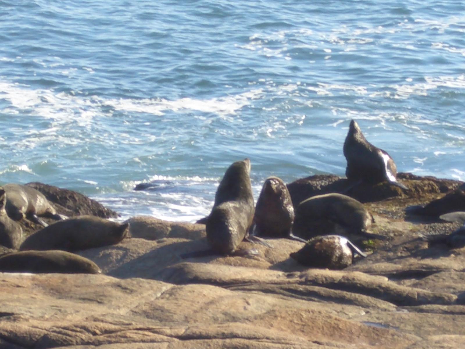 Colonia de focas en Cabo Polonio