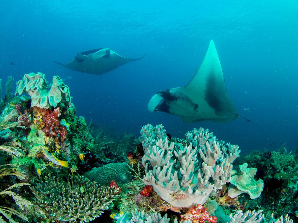 Mantas de buceo en Raja Ampat